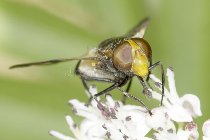 Volucella pellucens/pellucid hoverfly i naturlig livsmiljö arkivfoto