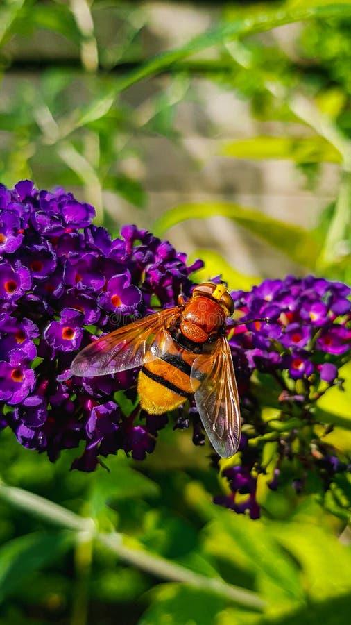 Volucella zonaria - Hoverfly macro on purple butterfly bush. Volucella zonaria close up - the hornet mimic hoverfly - on purple butterfly bush royalty free stock photography