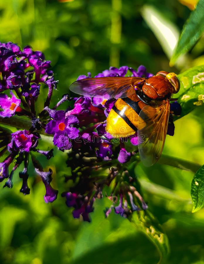 Volucella zonaria - Hoverfly macro on purple butterfly bush stock images
