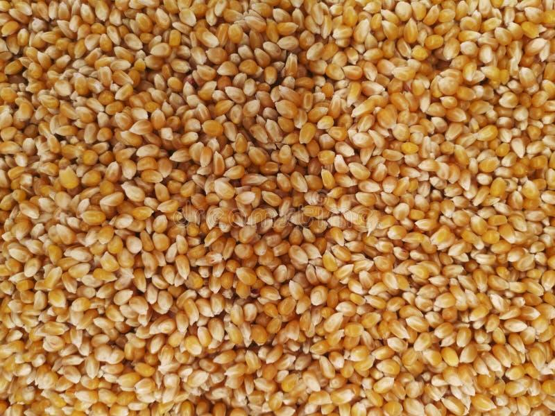 Volume de grões do milho Textura do milho Grãos amarelos como o fundo Teste padrão do vegetal do milho Fundo do volume de grões a fotografia de stock royalty free
