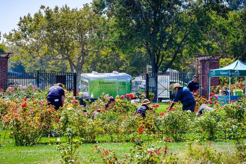Voluntários que emprestam uma mão em um jardim de rosas fotografia de stock royalty free