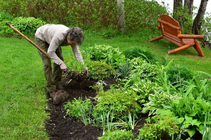 Volunteer woman gardener planting in flowerbed royalty free stock photos