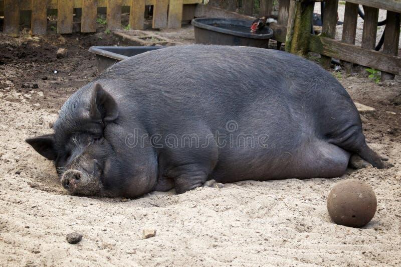 Voluptuous potbelly świni dosypianie fotografia royalty free