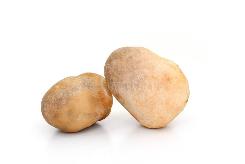 Volvariellavolvacea, Straw Mushroom op witte achtergrond stock fotografie