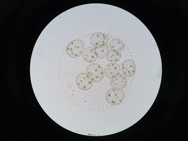 Volvox ist Klasse von chlorophyte Grünalgen stockbild