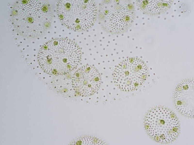 Volvox ist Klasse von chlorophyte Grünalgen lizenzfreie stockbilder