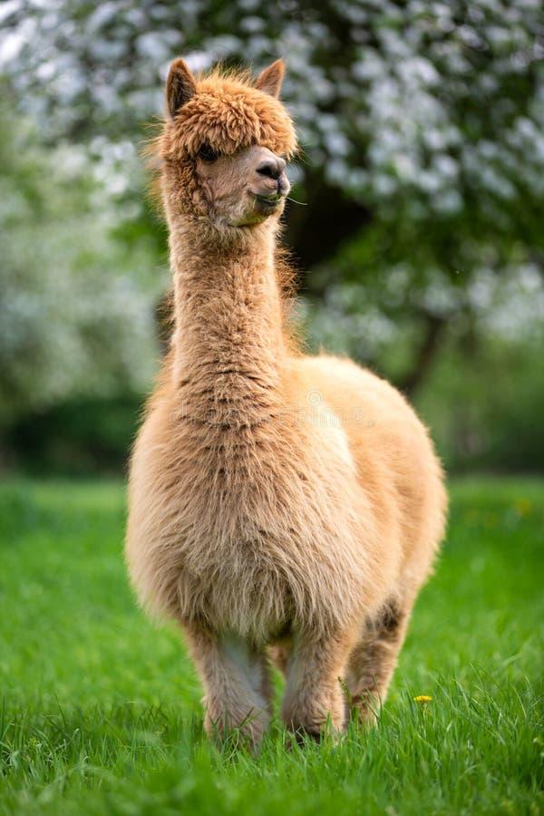 Volwassen Alpaca in de boezem van aard stock foto's