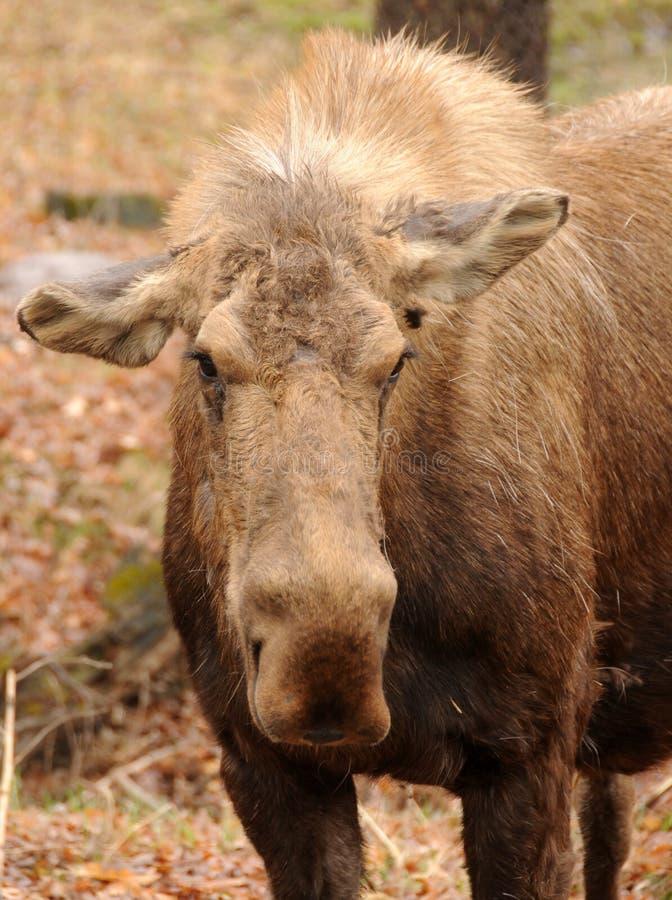 Volwassen Amerikaanse elanden royalty-vrije stock foto