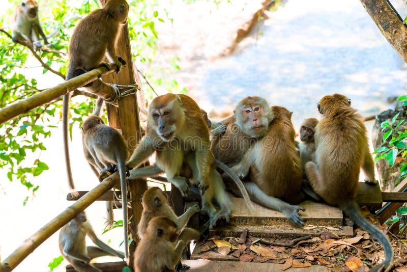 volwassen apen en jongelui op de sleep in Thayland, Krabi stock afbeelding