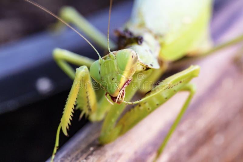 Volwassen bidsprinkhaneninsect, Zoeken voor een paar voor voortplanting stock afbeelding