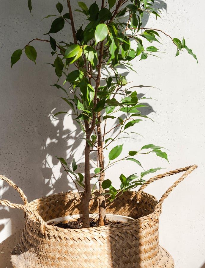 Volwassen binnenplanten - ficus benjamin in een mandje voor de teenwilgen op witte achtergrond Kopieerruimte stock foto's