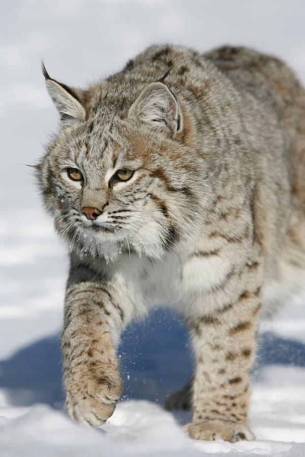 Volwassen Bobcat royalty-vrije stock fotografie