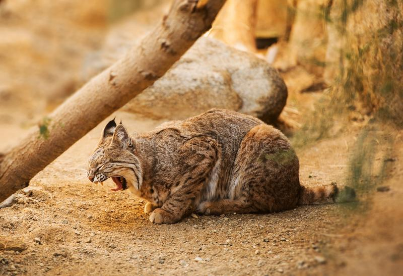 Volwassen Bobcat royalty-vrije stock afbeeldingen