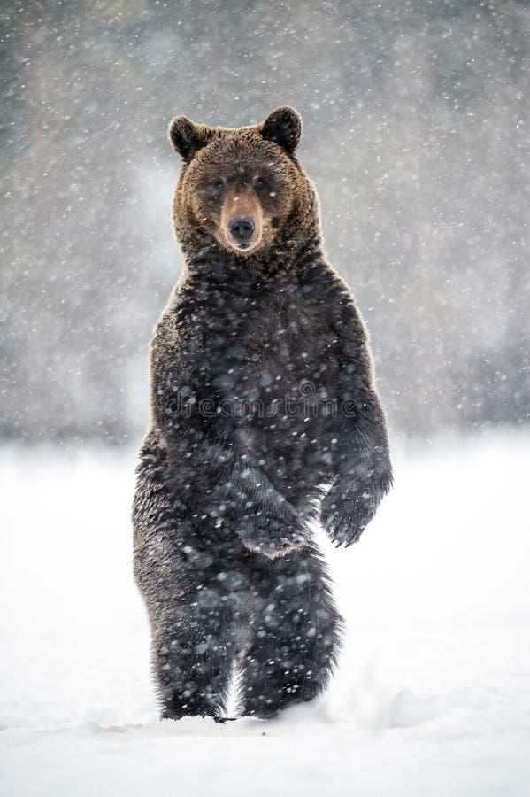 Volwassen bruin draagt bevindend op zijn achterste benen op de sneeuw in de de winter bossneeuwval Wetenschappelijke naam: Ursusa stock foto's