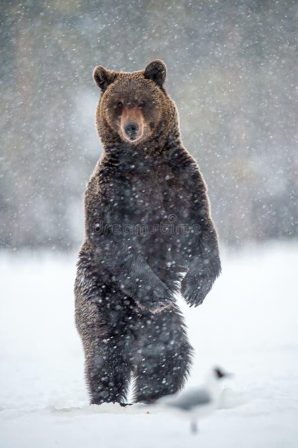 Volwassen bruin draagt bevindend op zijn achterste benen op de sneeuw in de de winter bossneeuwval Wetenschappelijke naam: Ursusa royalty-vrije stock afbeelding