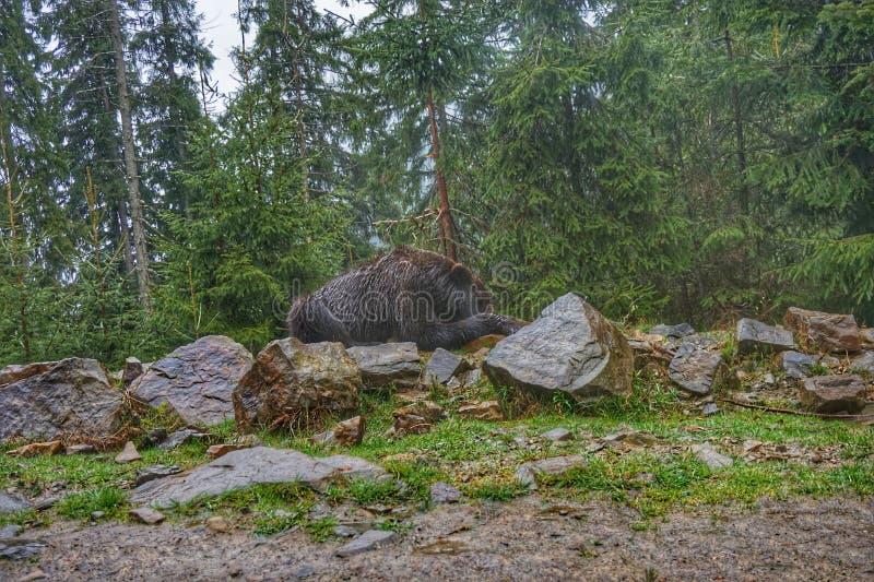 Volwassen bruin draagt in het bos, die op de stenen slapen royalty-vrije stock afbeeldingen