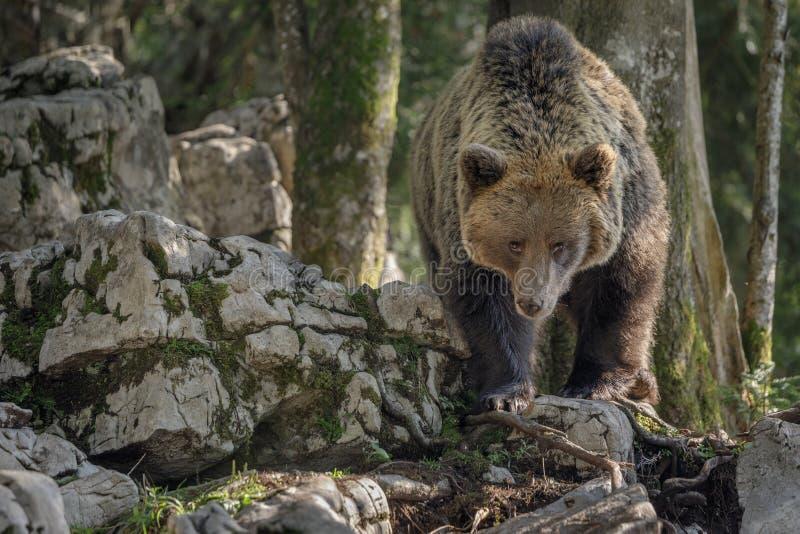 Volwassen bruin draagt, Slovenië stock fotografie