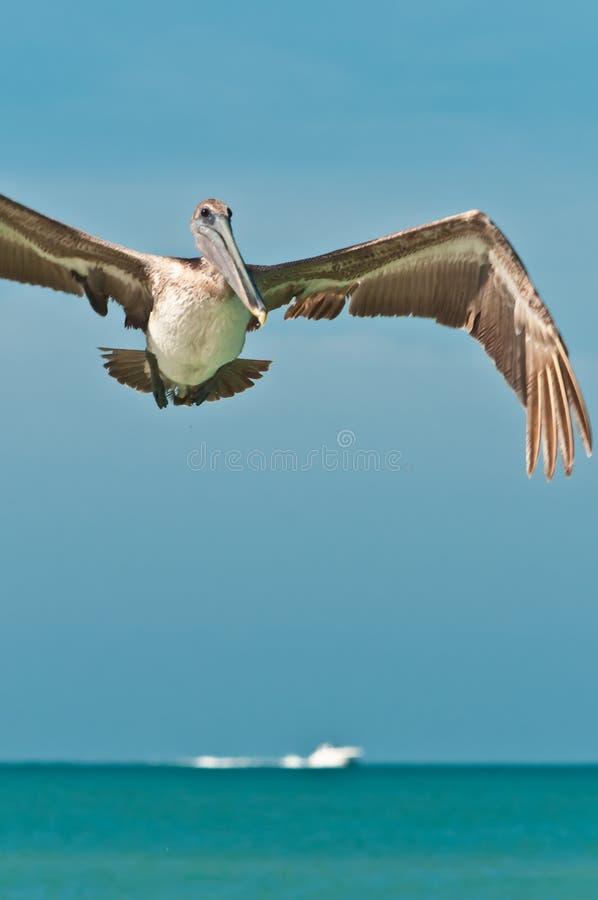 Volwassen, bruine pelikaan, die, bij een tropisch strand voorbereidingen treffen te landen royalty-vrije stock afbeelding
