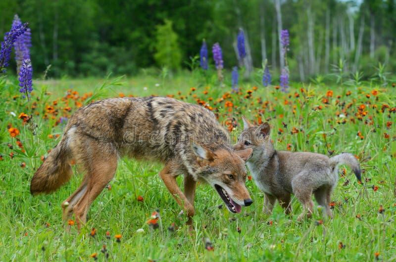 Volwassen Coyote en jong Wolf Pup op gebied van wildflowers stock afbeeldingen