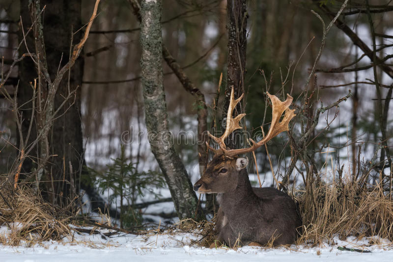 Volwassen Damherten Buck Dama Dama Een Mooi Damhertenmannetje ligt op de Sneeuw in Forest Undergrowth Mannelijke Hertenbraakakker royalty-vrije stock afbeelding