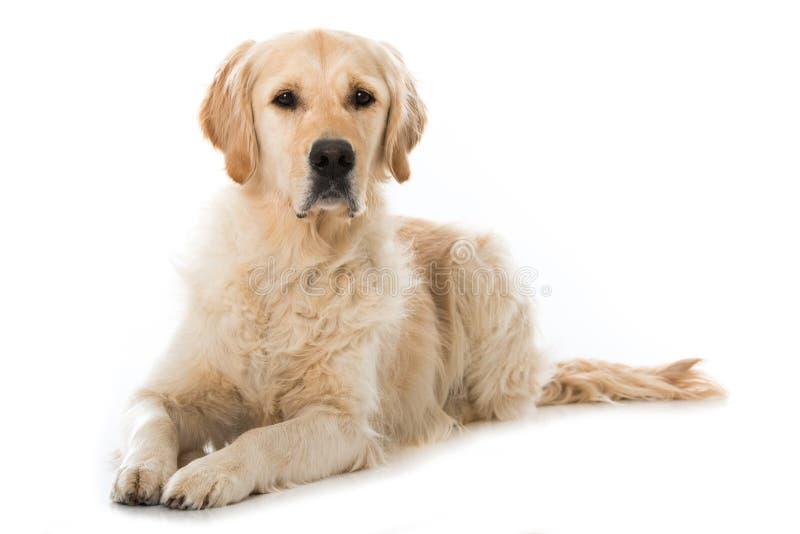 Volwassen die Golden retrieverhond op witte achtergrond wordt geïsoleerd royalty-vrije stock fotografie