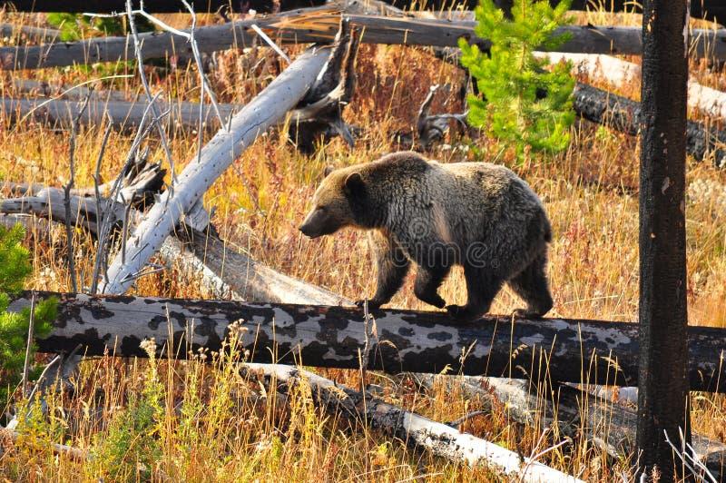 Volwassen draag bij het Nationale Park van Yellowstone stock foto's