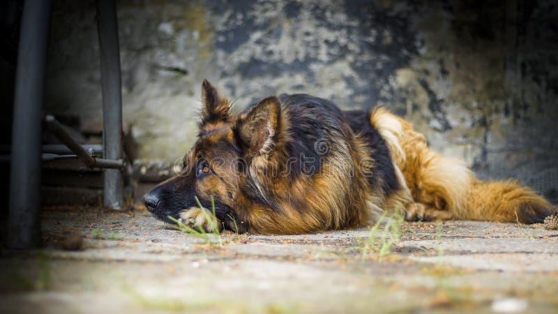 Volwassen Duitse herder in een portretfoto Een grote hond ligt vreedzaam op een concrete kubus Kleine diepte van gebied royalty-vrije stock fotografie
