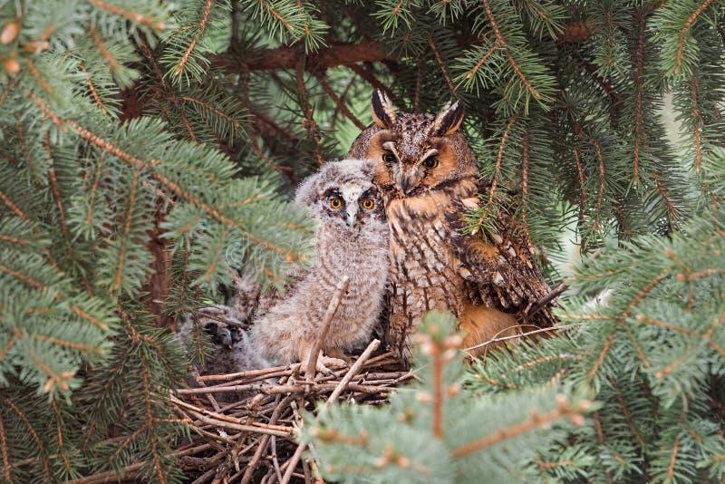Volwassen en jeugd lang-eared uilzitting op een nest dicht bij elkaar royalty-vrije stock afbeelding