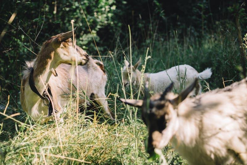 Volwassen en jonge geiten in de schuur stock foto's