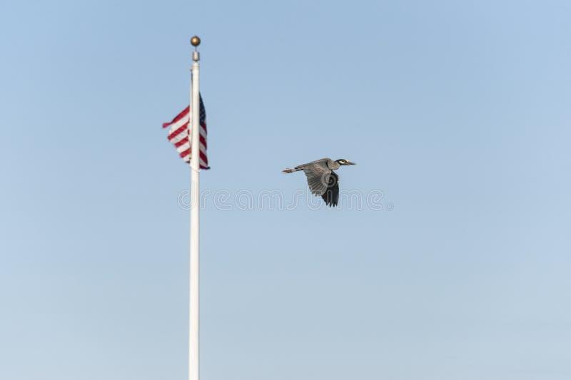 Volwassen geel-Bekroonde nacht-Reiger die voorbij Amerikaanse vlag vliegen stock foto