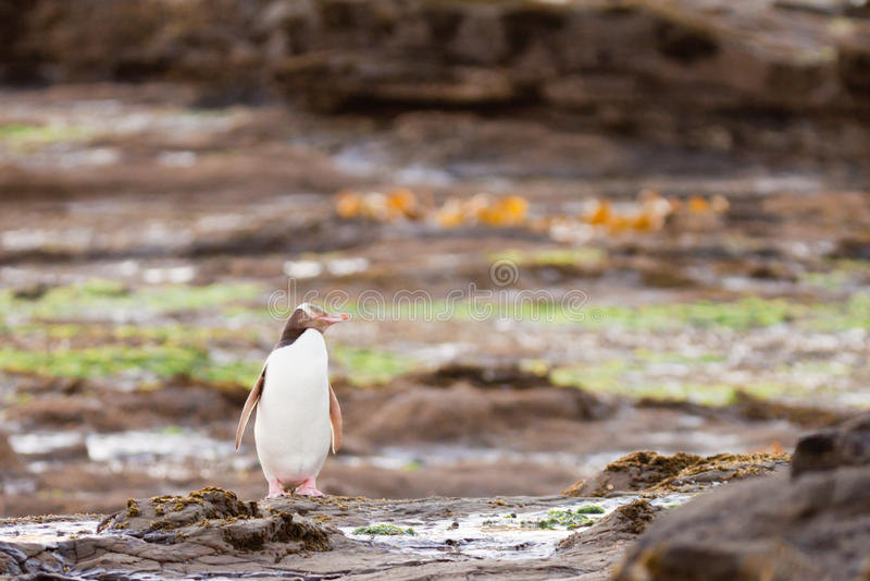 Volwassen geel-Eyed Pinguïn NZ of Hoiho op kust royalty-vrije stock foto