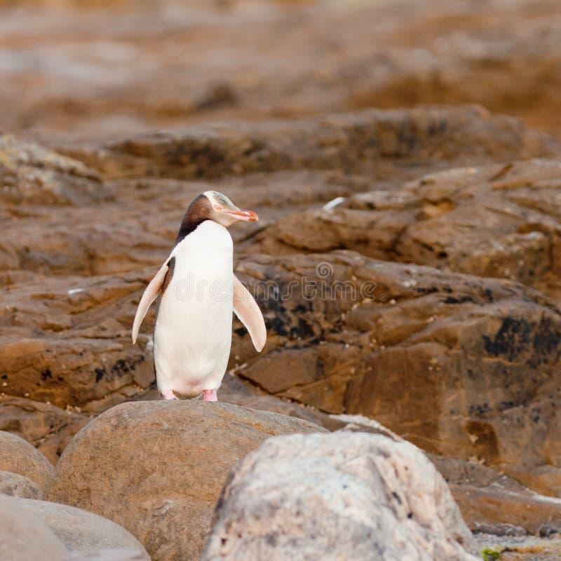 Volwassen geel-Eyed Pinguïn NZ of Hoiho op kust stock afbeeldingen