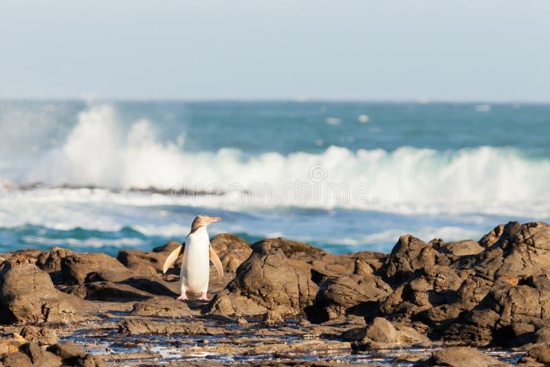 Volwassen geel-Eyed Pinguïn NZ of Hoiho op kust stock foto's