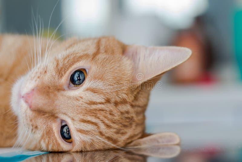 Volwassen gekalmeerde kat stock foto's