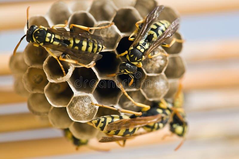 Volwassen gele jasjewespen en larven op een groot nest stock foto's