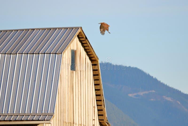 Volwassen Hawk Attacking Prey royalty-vrije stock foto