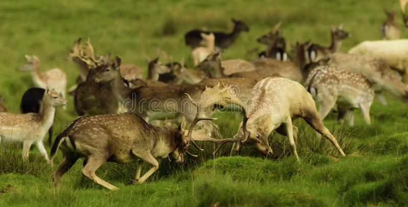 Volwassen herten - mannetjes die op de wijfjes rutting indruk te maken stock afbeelding