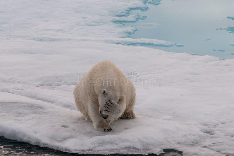 Volwassen Ijsbeer die zijn gezicht, Svalbard behandelen stock foto