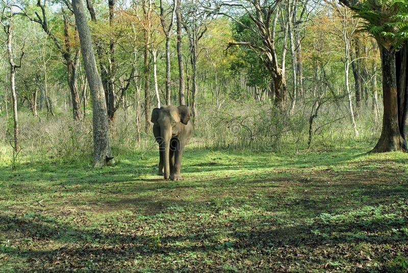 Volwassen koeolifant die uit uit bos komen stock foto