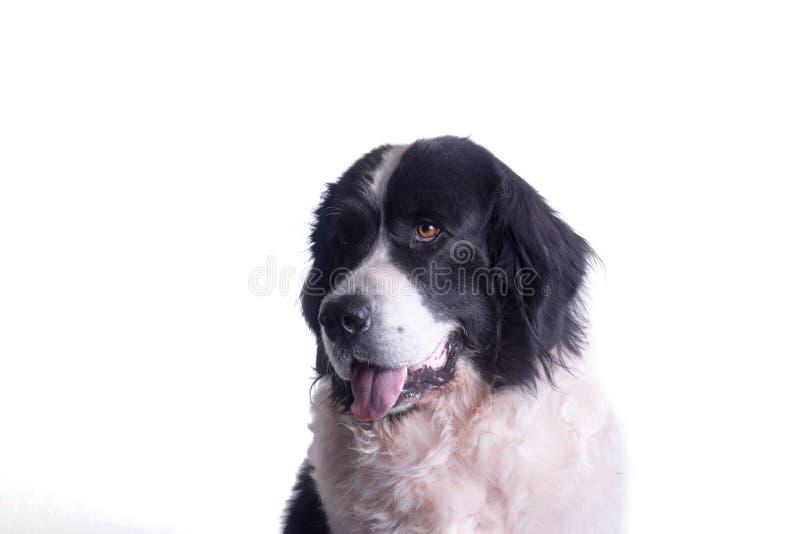 Volwassen landseerhond stock afbeelding