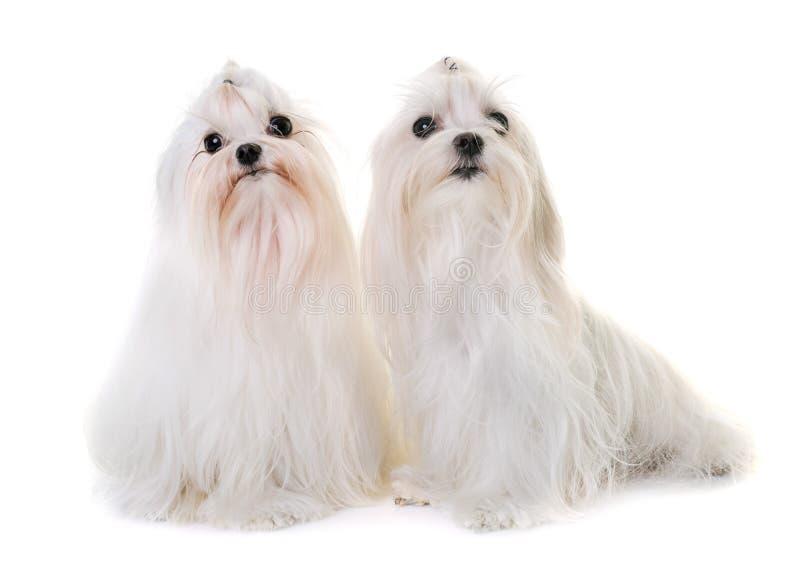 Volwassen Maltese hond royalty-vrije stock afbeelding