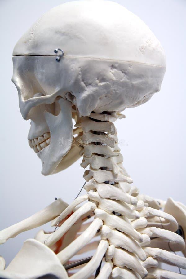 Volwassen mannelijk skelet stock afbeelding