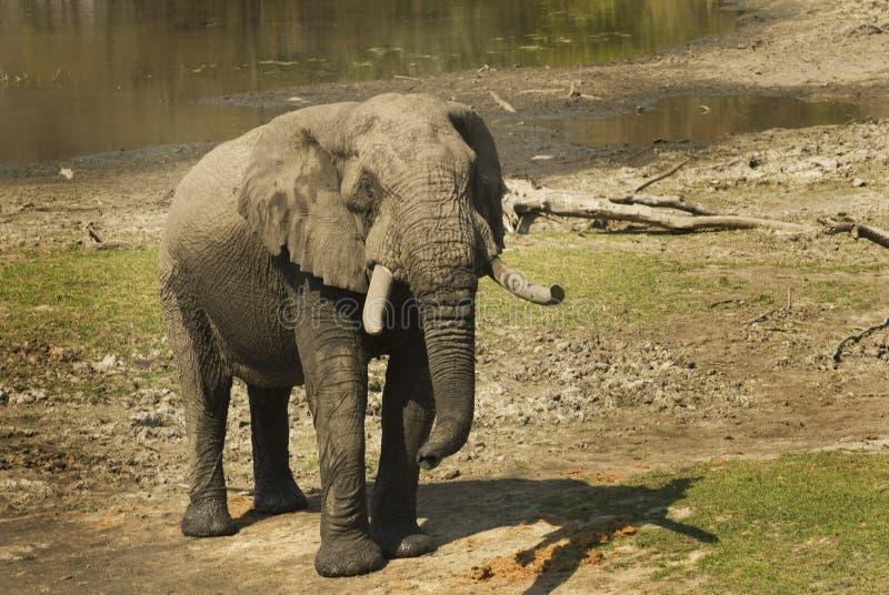 Volwassen mannelijke Afrikaanse olifant stock afbeelding
