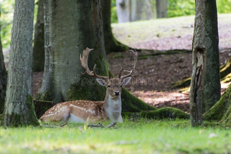Volwassen mannelijke damhertenzitting onder een boom royalty-vrije stock foto's