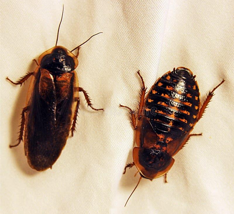 Volwassen Mannelijke en Vrouwelijke Dubia-kakkerlakken royalty-vrije stock afbeelding