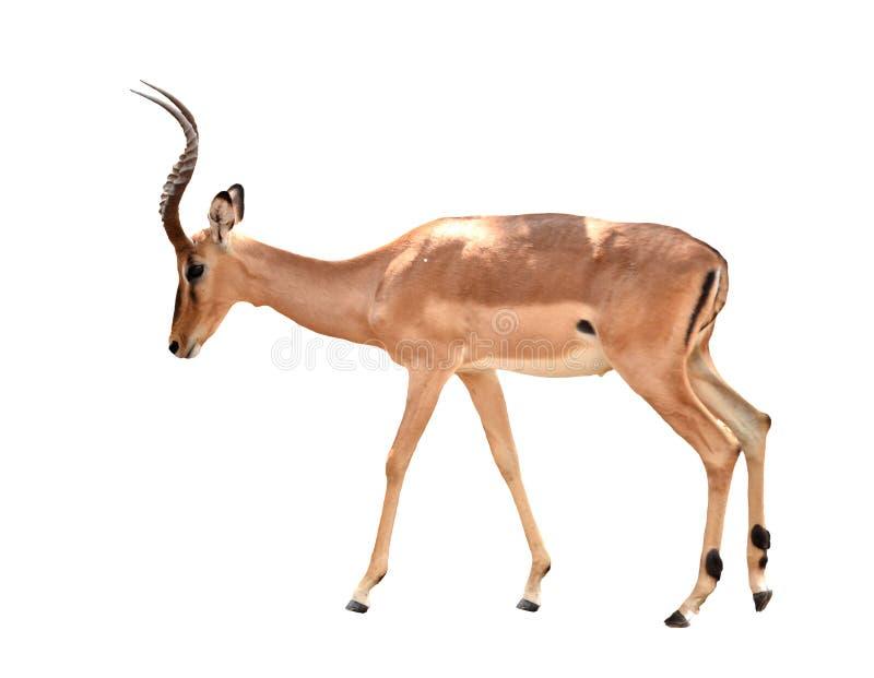 Volwassen mannelijke geïsoleerde impala stock afbeeldingen