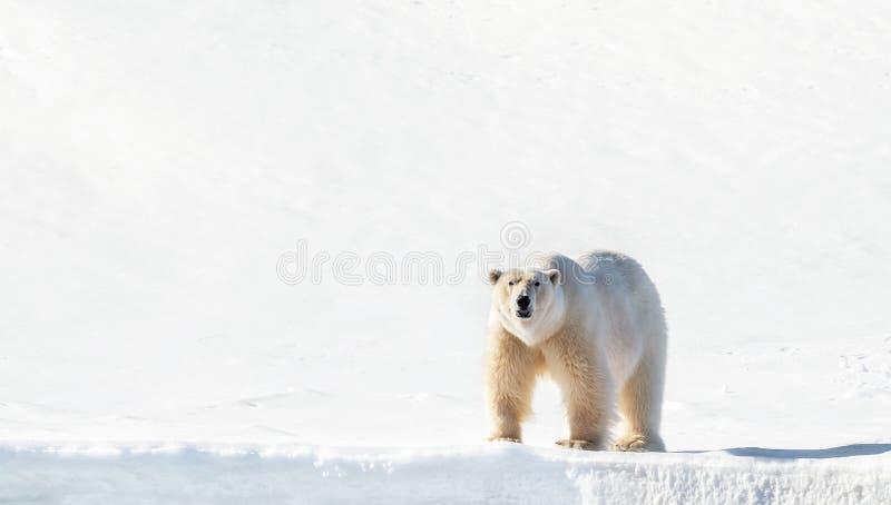 Volwassen mannelijke ijsbeertribunes op de Svalbard sneeuw stock foto