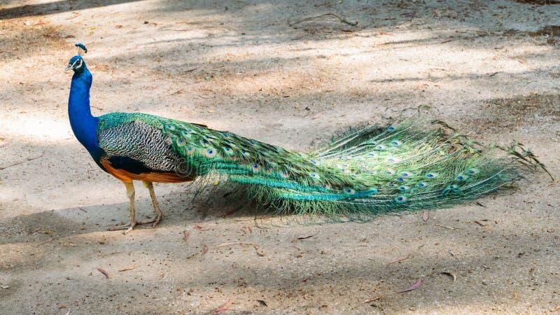 Volwassen mannelijke pauw die vanaf camera met kleurrijke en trillende gekleurde veren, levendig blauw lichaam en groen neon onde stock afbeelding