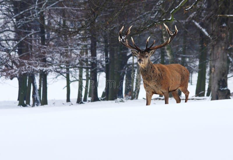Volwassen Mannelijke Rode Herten in Sneeuw, Sherwood Forest, Nottingham stock foto