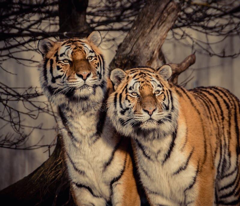 Volwassen mannelijke Siberische Amur-tijgers stock afbeelding